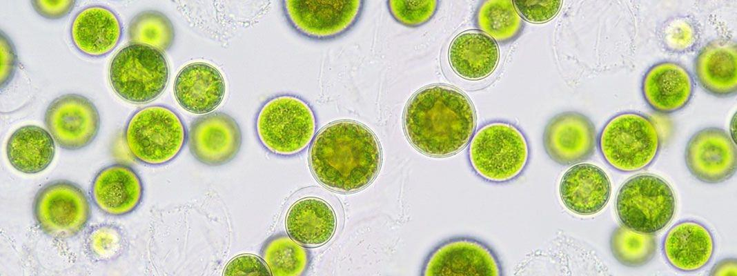 Algal_Concentrates